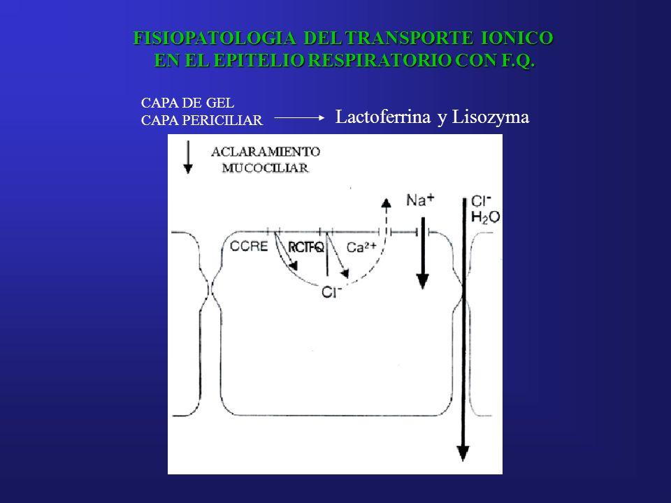 FISIOPATOLOGIA DEL TRANSPORTE IONICO EN EL EPITELIO RESPIRATORIO CON F.Q. CAPA DE GEL CAPA PERICILIAR Lactoferrina y Lisozyma