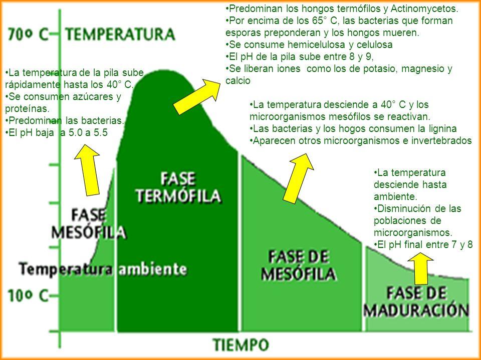Predominan los hongos termófilos y Actinomycetos. Por encima de los 65° C, las bacterias que forman esporas preponderan y los hongos mueren. Se consum