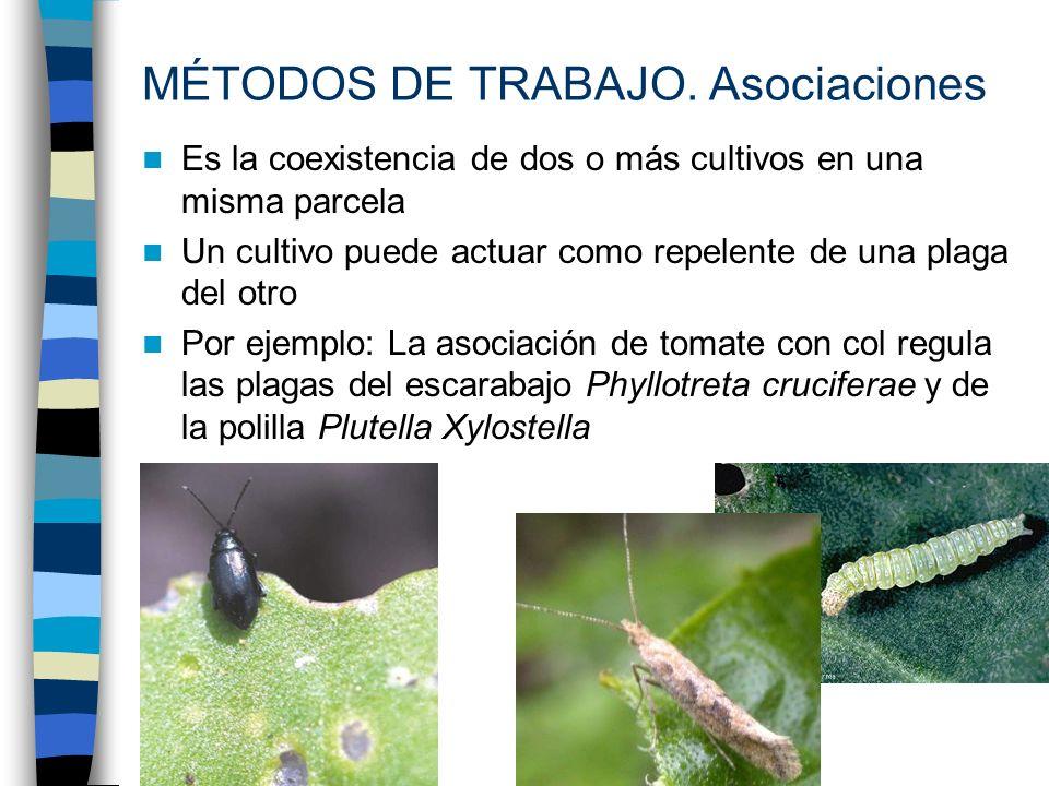 Es la coexistencia de dos o más cultivos en una misma parcela Un cultivo puede actuar como repelente de una plaga del otro Por ejemplo: La asociación