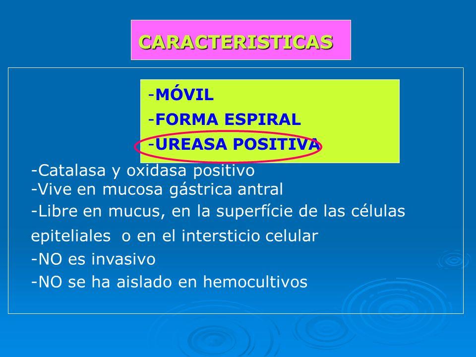 -Catalasa y oxidasa positivo -Vive en mucosa gástrica antral -Libre en mucus, en la superfície de las células epiteliales o en el intersticio celular