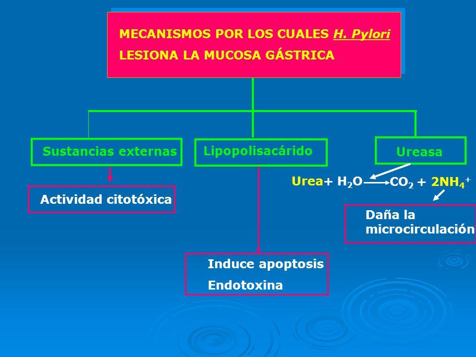 MECANISMOS POR LOS CUALES H. Pylori LESIONA LA MUCOSA GÁSTRICA Sustancias externas Lipopolisacárido Ureasa Induce apoptosis Endotoxina Actividad citot