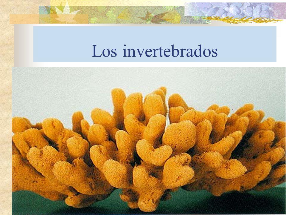 Principales características Invertebrados Animales sin esqueleto interno, aunque pueden tener un esqueleto externo o exoesqueleto.