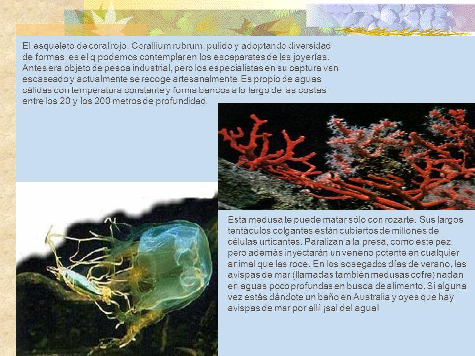 Corallium rubrum El esqueleto de coral rojo, Corallium rubrum, pulido y adoptando diversidad de formas, es el q podemos contemplar en los escaparates