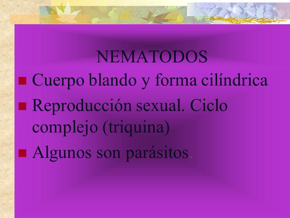 NEMATODOS Cuerpo blando y forma cilíndrica Reproducción sexual. Ciclo complejo (triquina) Algunos son parásitos.