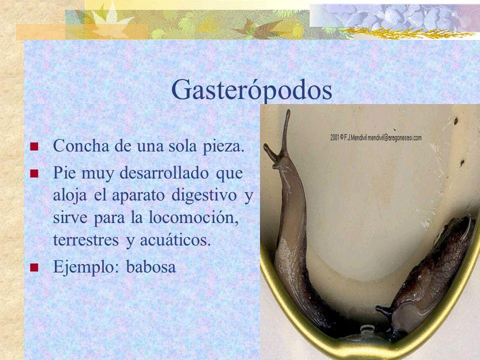 Gasterópodos Concha de una sola pieza. Pie muy desarrollado que aloja el aparato digestivo y sirve para la locomoción, terrestres y acuáticos. Ejemplo