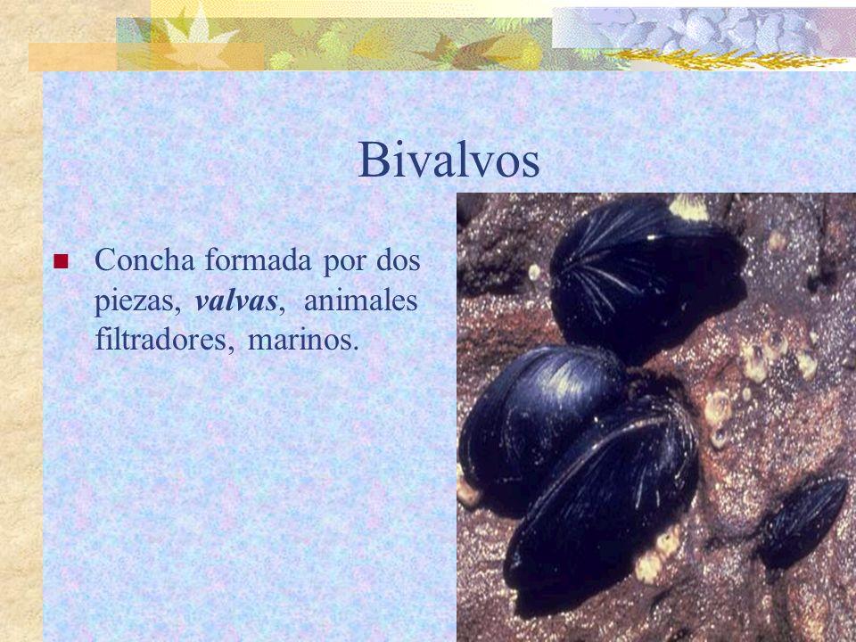 Bivalvos Concha formada por dos piezas, valvas, animales filtradores, marinos.