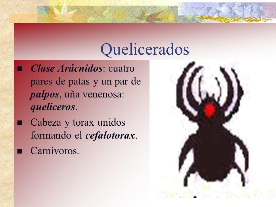 Quelicerados Clase Arácnidos: cuatro pares de patas y un par de palpos, uña venenosa: queliceros. Cabeza y torax unidos formando el cefalotorax. Carní