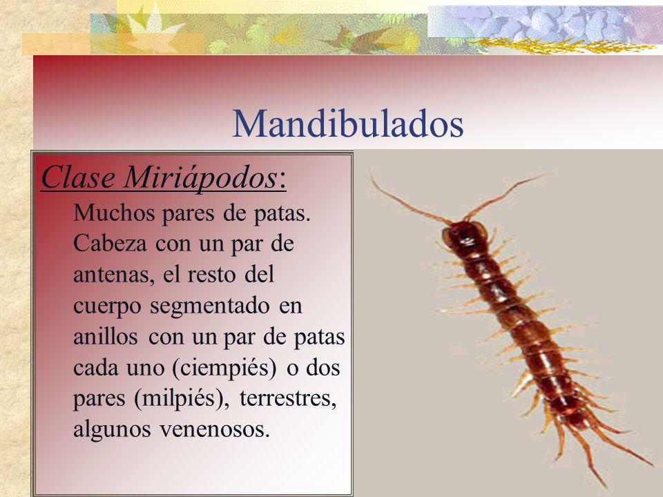 Mandibulados Clase Miriápodos: Muchos pares de patas. Cabeza con un par de antenas, el resto del cuerpo segmentado en anillos con un par de patas cada