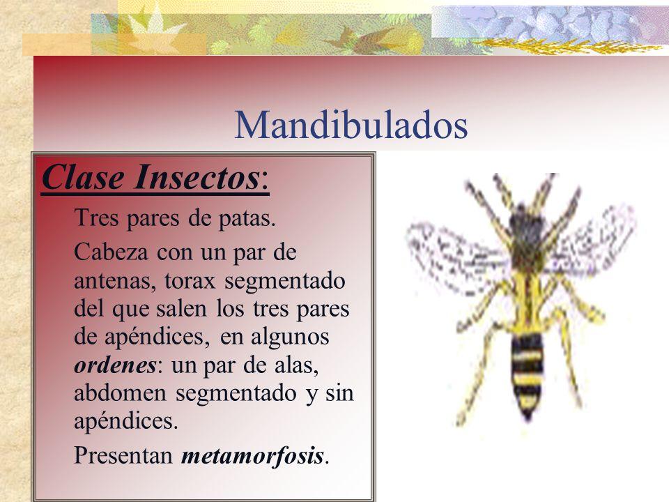 Mandibulados Clase Insectos: Tres pares de patas. Cabeza con un par de antenas, torax segmentado del que salen los tres pares de apéndices, en algunos