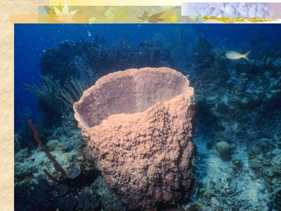 CELENTÉREOS Animales acuáticos que viven fijos al suelo, sedentarios (pólipos) o de vida libre (medusas).