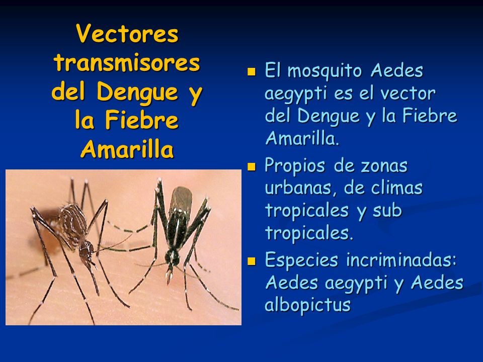 El mosquito Aedes aegypti es el vector del Dengue y la Fiebre Amarilla. El mosquito Aedes aegypti es el vector del Dengue y la Fiebre Amarilla. Propio