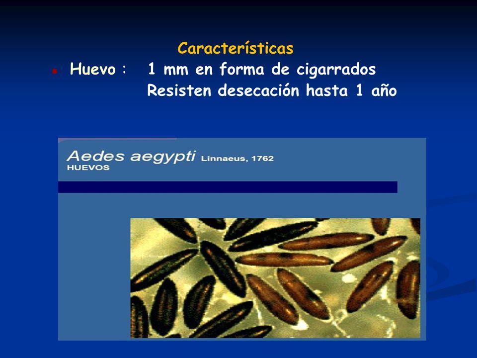 Características n Huevo : 1 mm en forma de cigarrados Resisten desecación hasta 1 año