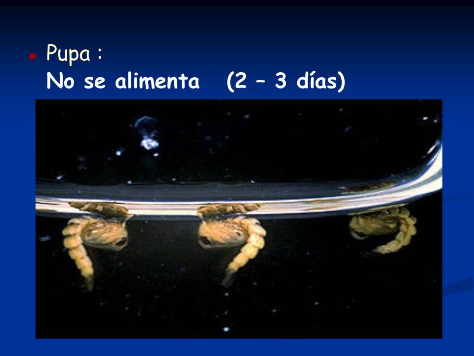 n n Pupa : No se alimenta (2 – 3 días)