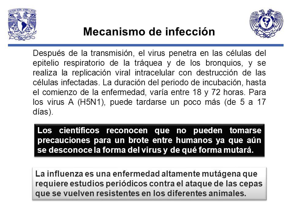 Mecanismo de infección Después de la transmisión, el virus penetra en las células del epitelio respiratorio de la tráquea y de los bronquios, y se rea