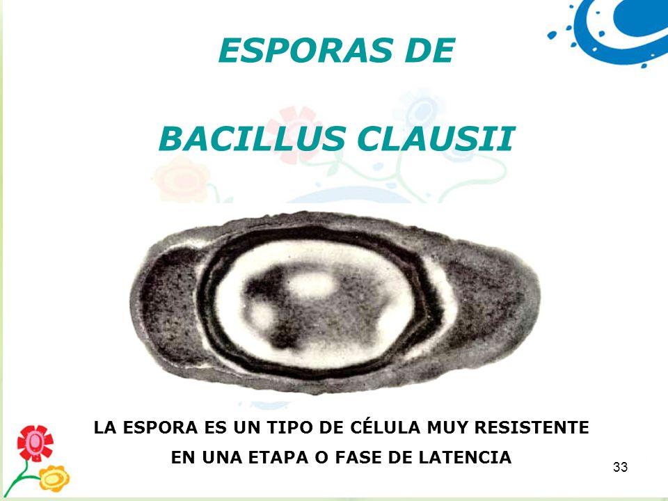 33 ESPORAS DE BACILLUS CLAUSII LA ESPORA ES UN TIPO DE CÉLULA MUY RESISTENTE EN UNA ETAPA O FASE DE LATENCIA