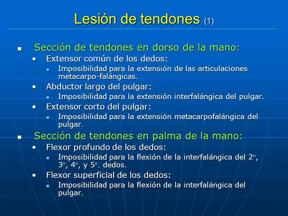 Lesión de tendones (1) Sección de tendones en dorso de la mano: Sección de tendones en dorso de la mano: Extensor común de los dedos:Extensor común de