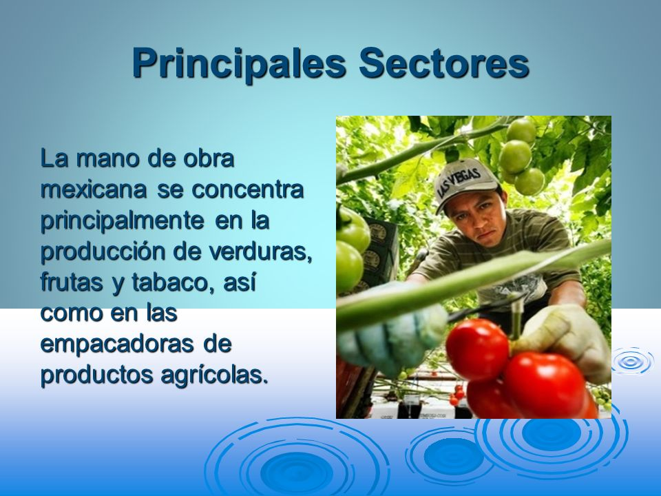 Principales Sectores La mano de obra mexicana se concentra principalmente en la producción de verduras, frutas y tabaco, así como en las empacadoras d