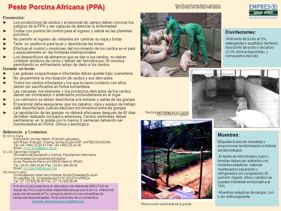 Prevención: Los productores de cerdos y el personal de campo deben conocer los peligros de la PPA y ser capaces de detectar la enfermedad Contar con p