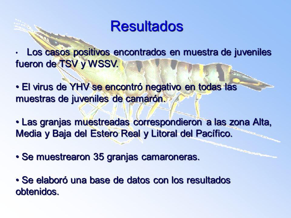 Resultados Los casos positivos encontrados en muestra de juveniles fueron de TSV y WSSV. Los casos positivos encontrados en muestra de juveniles fuero