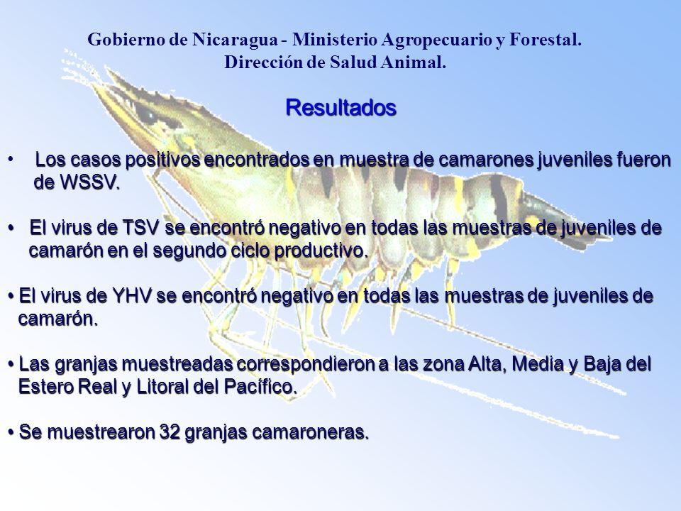 Resultados Los casos positivos encontrados en muestra de camarones juveniles fueron Los casos positivos encontrados en muestra de camarones juveniles