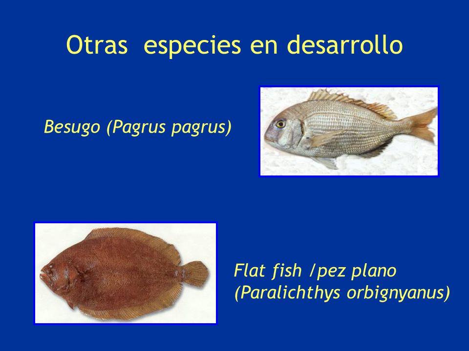 Otras especies en desarrollo Flat fish /pez plano (Paralichthys orbignyanus) Besugo (Pagrus pagrus)