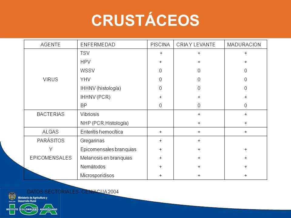 CRUSTÁCEOS AGENTEENFERMEDADPISCINACRIA Y LEVANTEMADURACION TSV +++ HPV+++ WSSV000 VIRUSYHV000 IHHNV (histología)000 IHHNV (PCR)+++ BP000 BACTERIASVibr