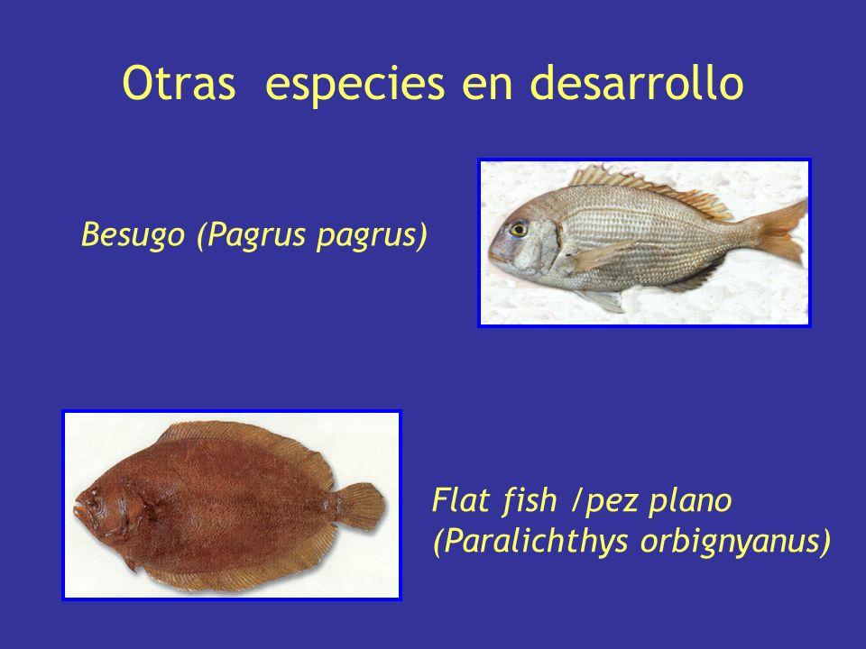 Silverside = pejerrey (Odonthestes bonariensis) Surubí (Pseudoplatystoma coruscans) Southamerican catfish (Rhamdia quelen) Otras especies en desarrollo
