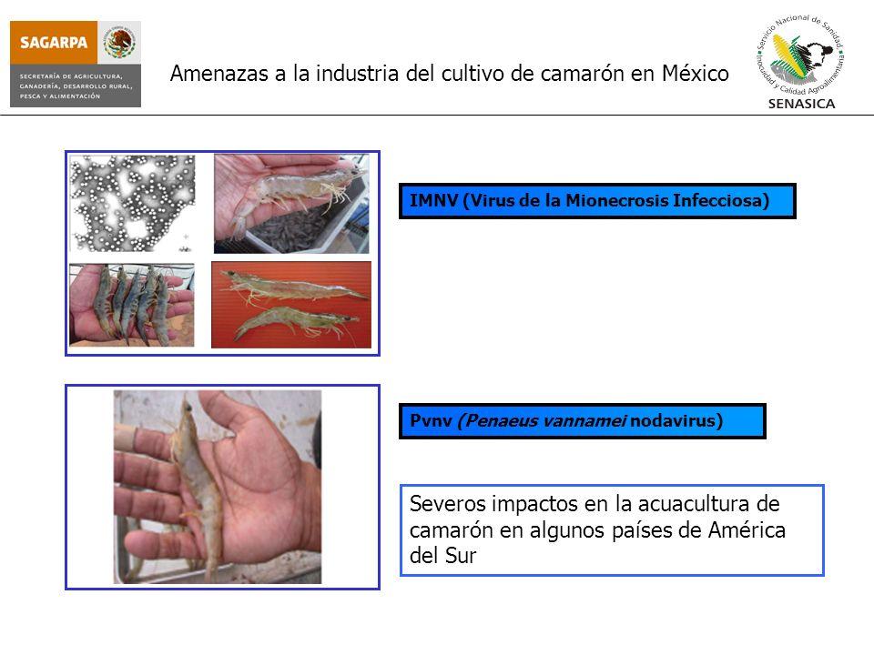 Amenazas a la industria del cultivo de camarón en México IMNV (Virus de la Mionecrosis Infecciosa) Pvnv (Penaeus vannamei nodavirus) Severos impactos