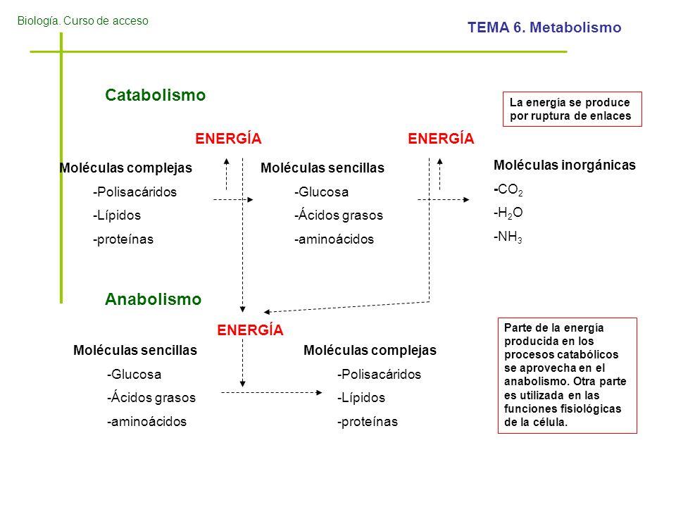Biología. Curso de acceso TEMA 6. Metabolismo Catabolismo Moléculas complejas -Polisacáridos -Lípidos -proteínas Moléculas sencillas -Glucosa -Ácidos