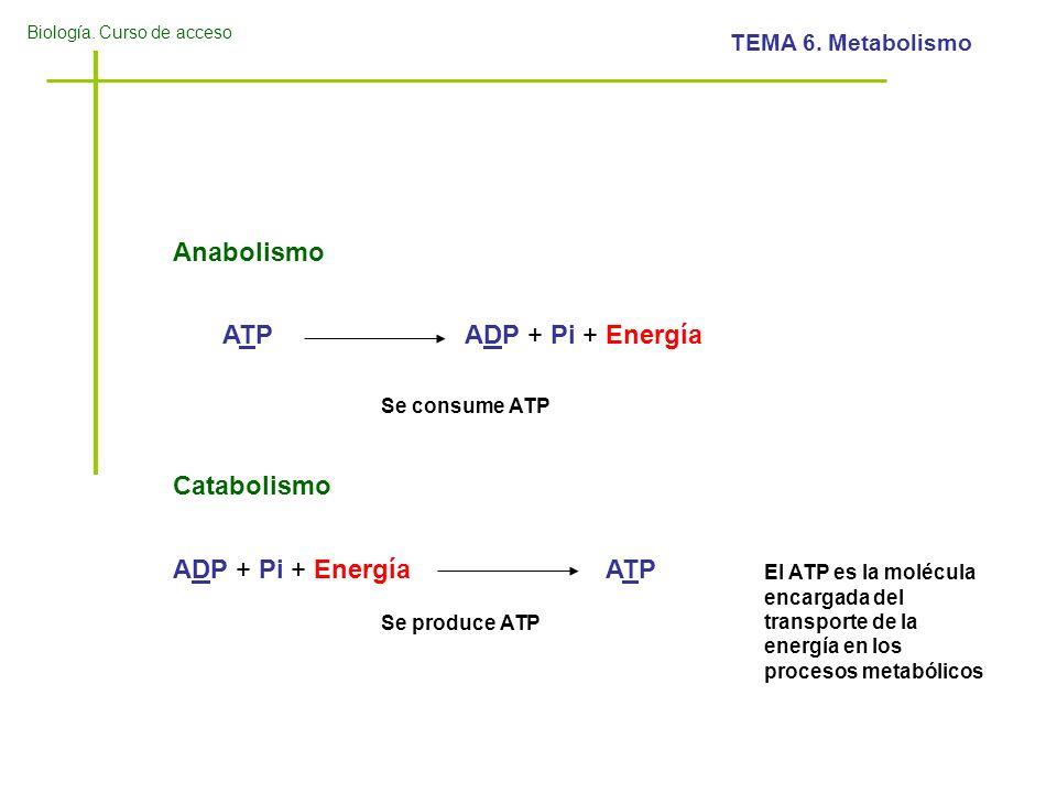 Biología. Curso de acceso TEMA 6. Metabolismo ATPATPADP + Pi + Energía Anabolismo ADP + Pi + EnergíaATPATP Catabolismo Se consume ATP Se produce ATP E