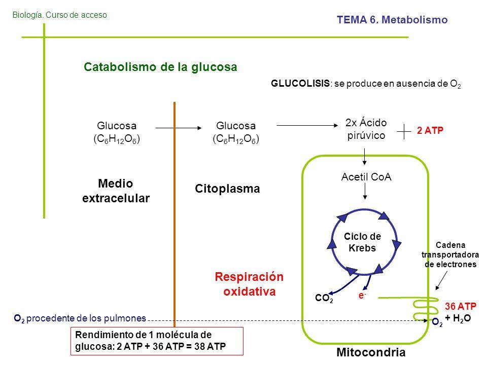 Biología. Curso de acceso TEMA 6. Metabolismo Catabolismo de la glucosa Glucosa (C 6 H 12 O 6 ) 2x Ácido pirúvico 2 ATP Acetil CoA Ciclo de Krebs CO 2