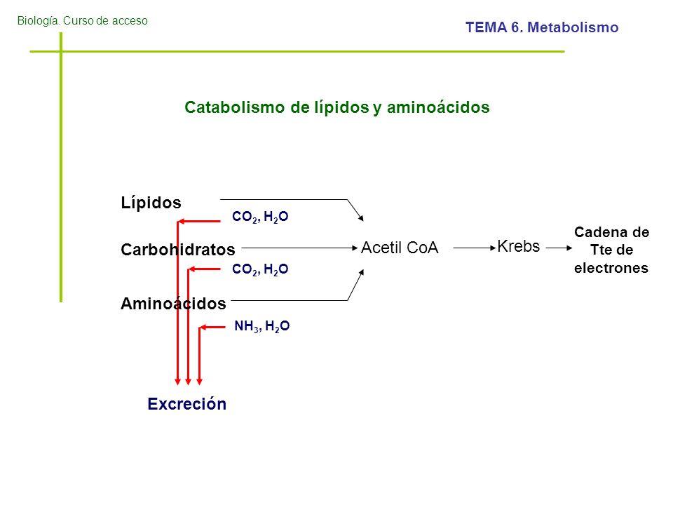 Biología. Curso de acceso TEMA 6. Metabolismo Catabolismo de lípidos y aminoácidos Lípidos Carbohidratos Aminoácidos Acetil CoA NH 3, H 2 O CO 2, H 2