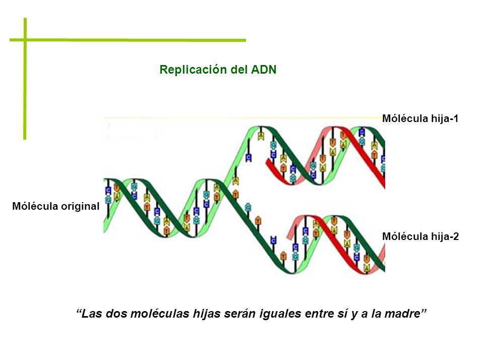 Replicación del ADN Mólécula original Mólécula hija-1 Mólécula hija-2 Las dos moléculas hijas serán iguales entre sí y a la madre