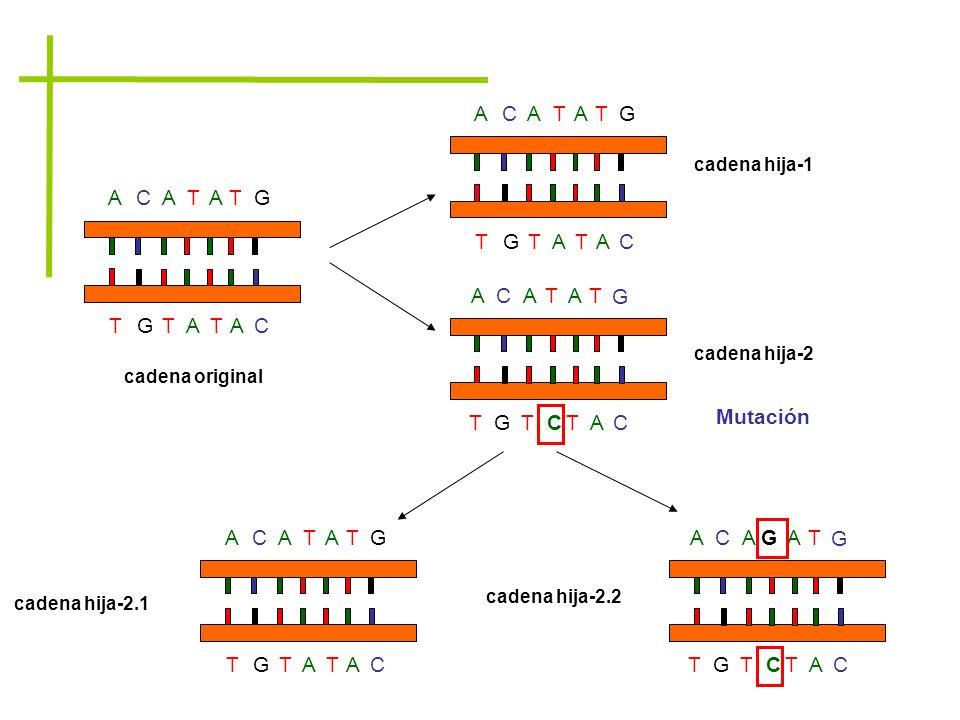 ACATATG TGTATAC ACATATG TGTATAC cadena original cadena hija-1 cadena hija-2 ACGTA T C TAC G TG Mutación ACATATG TGTATAC ACATTA T C TAC G TG A cadena h