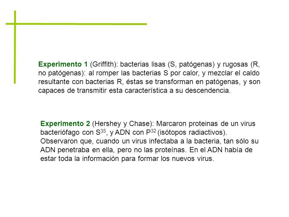 Experimento 1 (Griffith): bacterias lisas (S, patógenas) y rugosas (R, no patógenas): al romper las bacterias S por calor, y mezclar el caldo resultan
