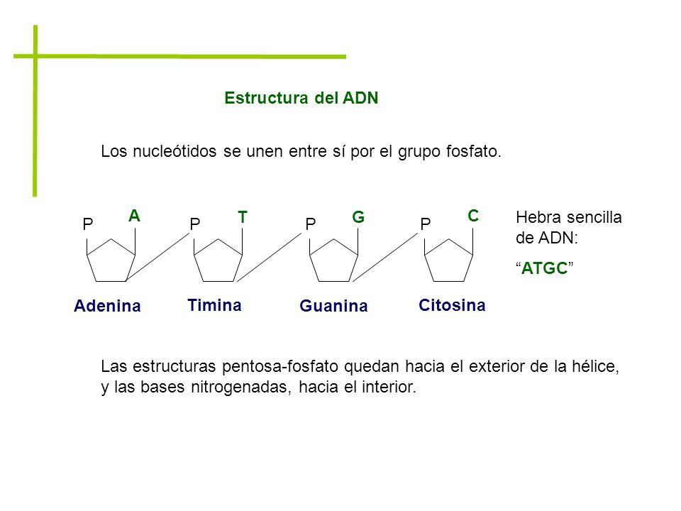 Estructura del ADN Los nucleótidos se unen entre sí por el grupo fosfato. P A PP P TG C Adenina Timina Guanina Citosina Hebra sencilla de ADN: ATGC La