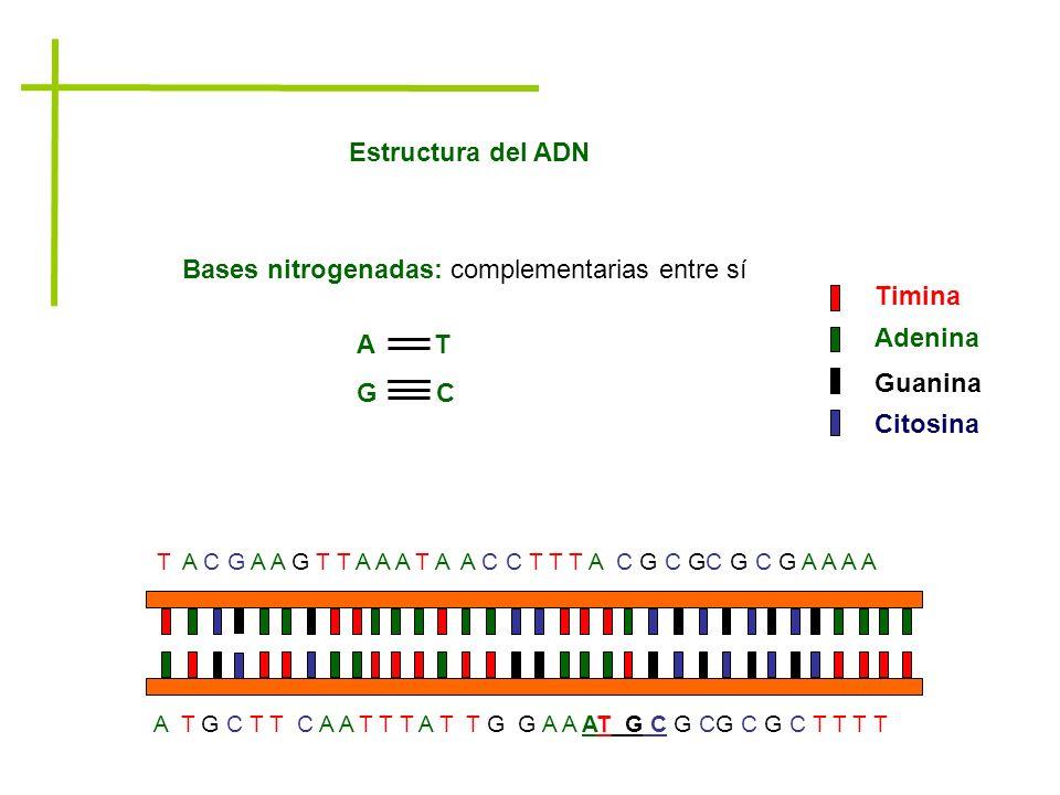 Bases nitrogenadas: complementarias entre sí A T G C Timina Adenina Guanina Citosina A T G C T T C A A T T T A T T G G A A AT G C G CG C G C T T T T T