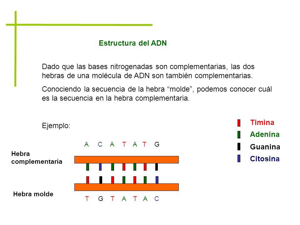 Dado que las bases nitrogenadas son complementarias, las dos hebras de una molécula de ADN son también complementarias. Conociendo la secuencia de la