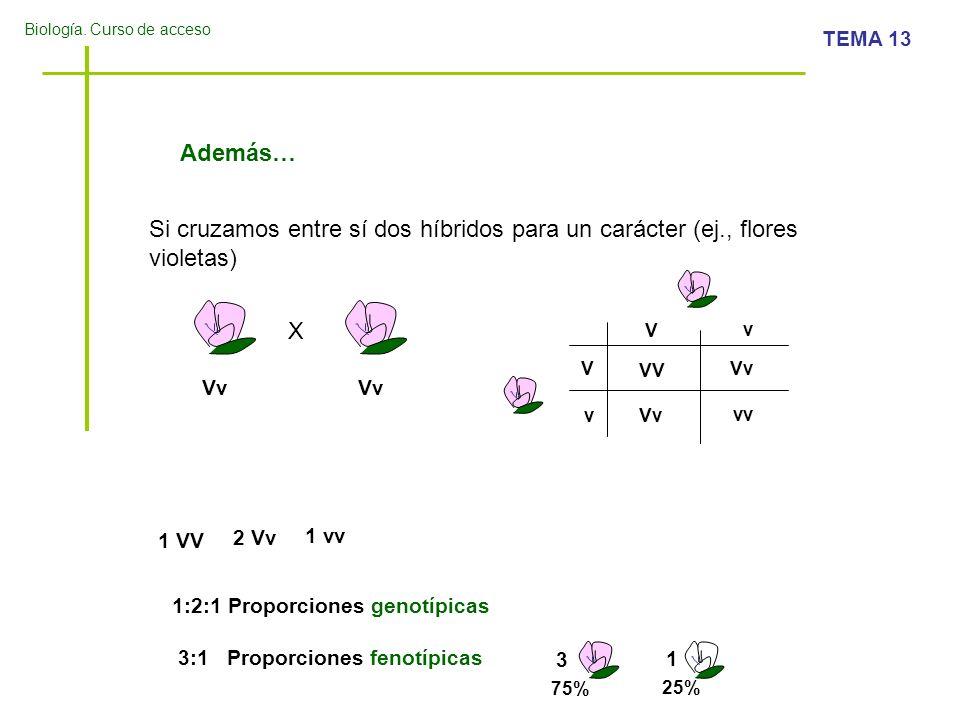 Biología. Curso de acceso TEMA 13 Además… Si cruzamos entre sí dos híbridos para un carácter (ej., flores violetas) X Vv V V v v VV Vv vv 1 VV 2 Vv 1