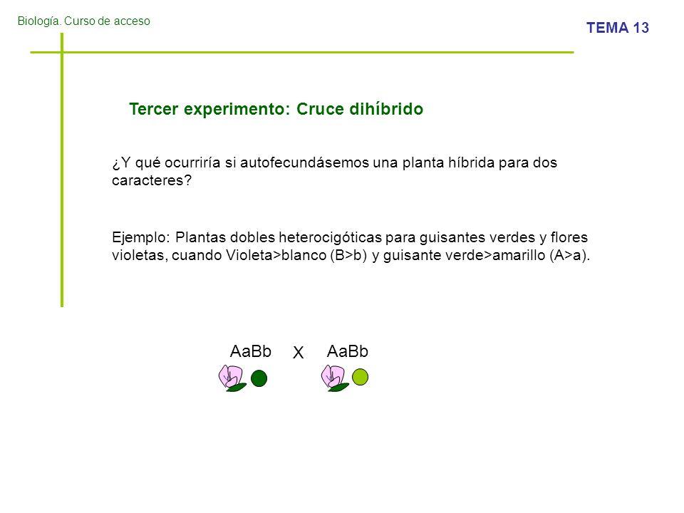 Biología. Curso de acceso TEMA 13 Tercer experimento: Cruce dihíbrido ¿Y qué ocurriría si autofecundásemos una planta híbrida para dos caracteres? Eje