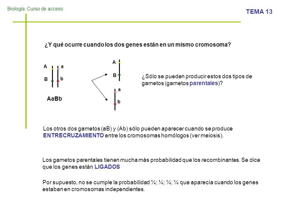 Biología. Curso de acceso TEMA 13 ¿Y qué ocurre cuando los dos genes están en un mismo cromosoma? Aa b B AaBb A a b B ¿Sólo se pueden producir estos d
