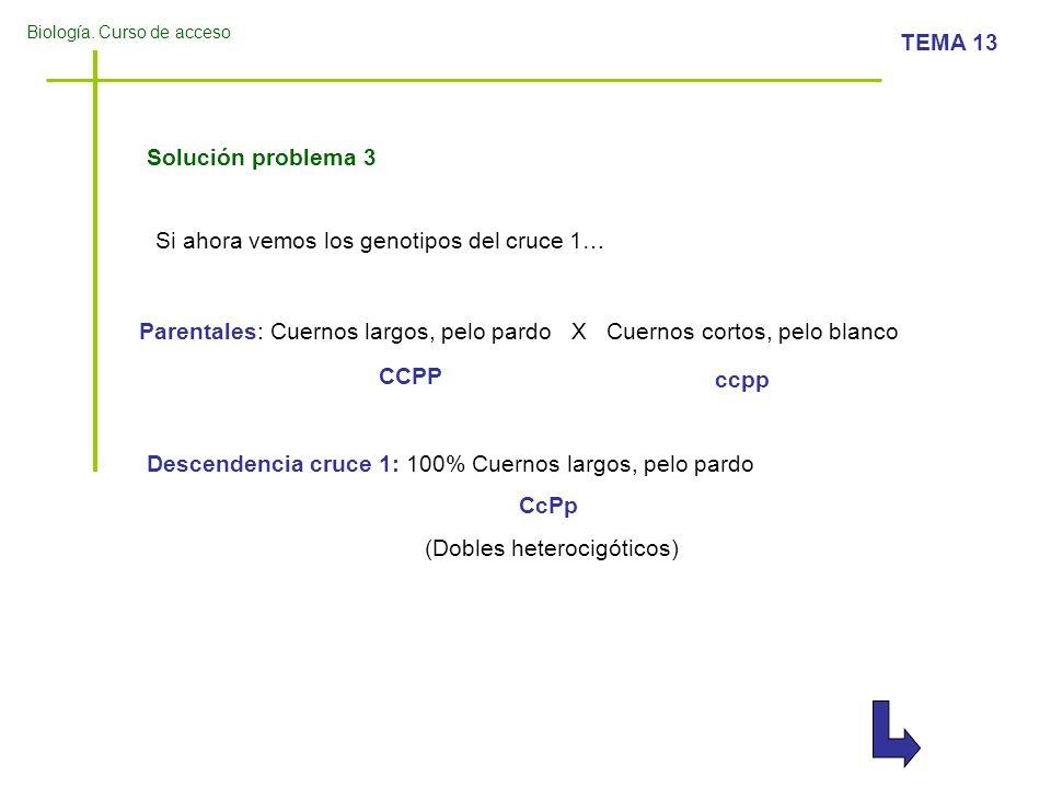 Biología. Curso de acceso TEMA 13 Solución problema 3 Si ahora vemos los genotipos del cruce 1… Parentales: Cuernos largos, pelo pardo X Cuernos corto