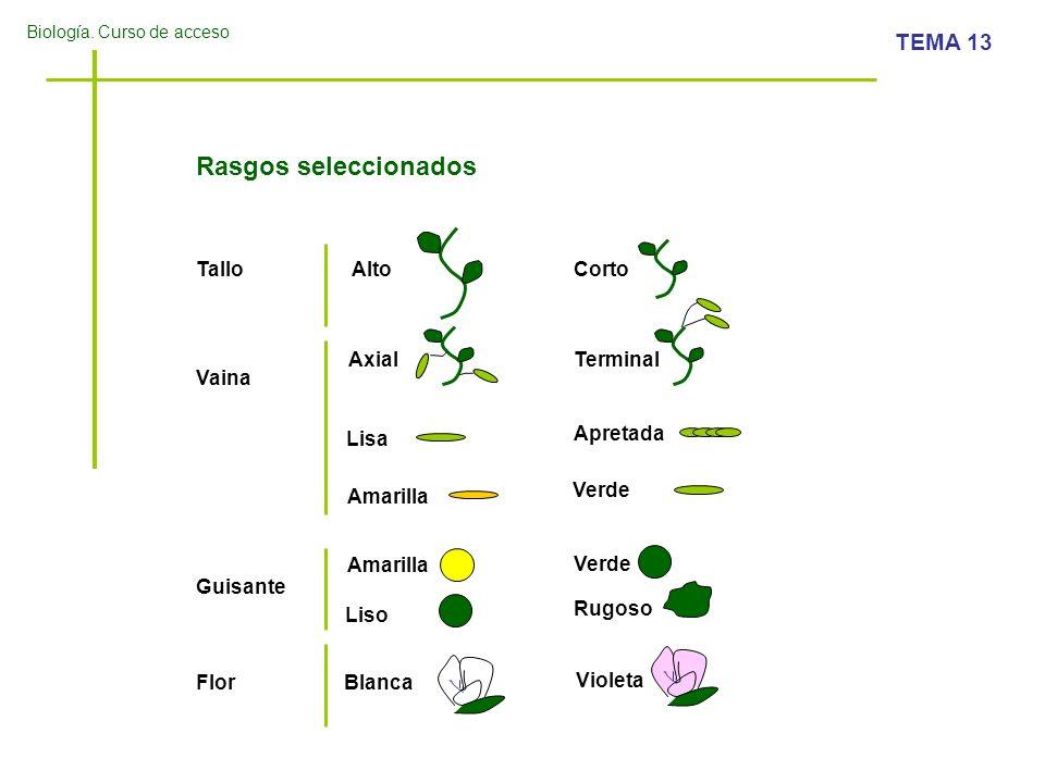 Biología. Curso de acceso TEMA 13 Rasgos seleccionados Tallo Vaina Guisante Flor AltoCorto AxialTerminal Lisa Apretada Amarilla Verde Amarilla Verde L