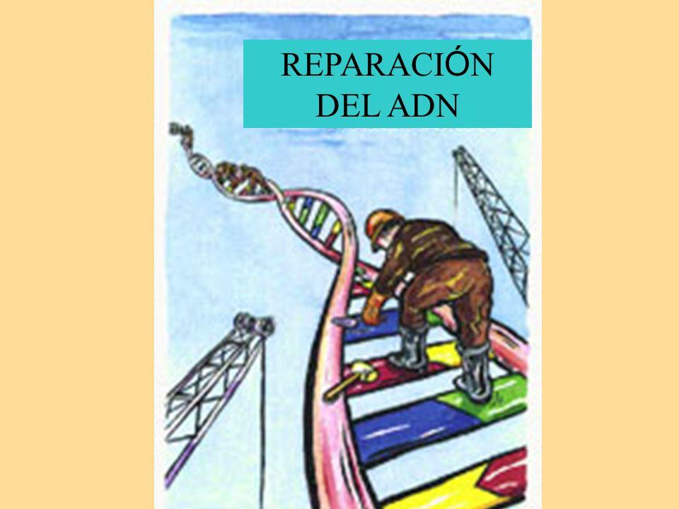 REPARACI Ó N DEL ADN