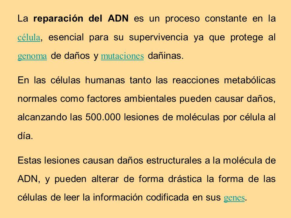 La reparación del ADN es un proceso constante en la célula, esencial para su supervivencia ya que protege al genoma de daños y mutaciones dañinas. cél