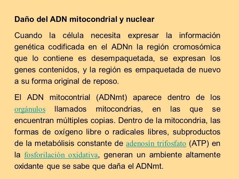 Daño del ADN mitocondrial y nuclear Cuando la célula necesita expresar la información genética codificada en el ADNn la región cromosómica que lo cont