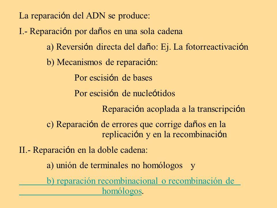 La reparaci ó n del ADN se produce: I.- Reparaci ó n por da ñ os en una sola cadena a) Reversi ó n directa del da ñ o: Ej. La fotorreactivaci ó n b) M
