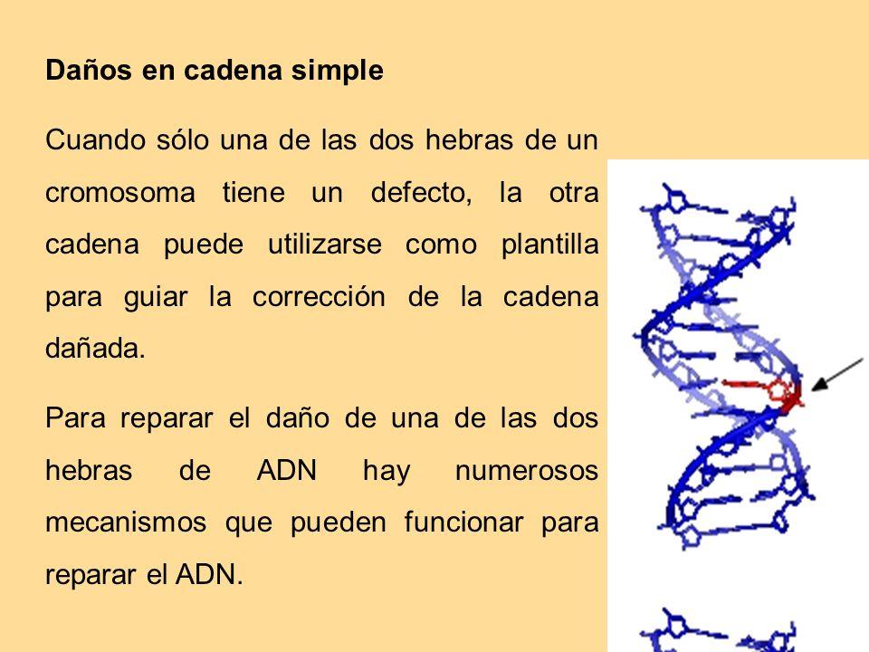 Daños en cadena simple Cuando sólo una de las dos hebras de un cromosoma tiene un defecto, la otra cadena puede utilizarse como plantilla para guiar l