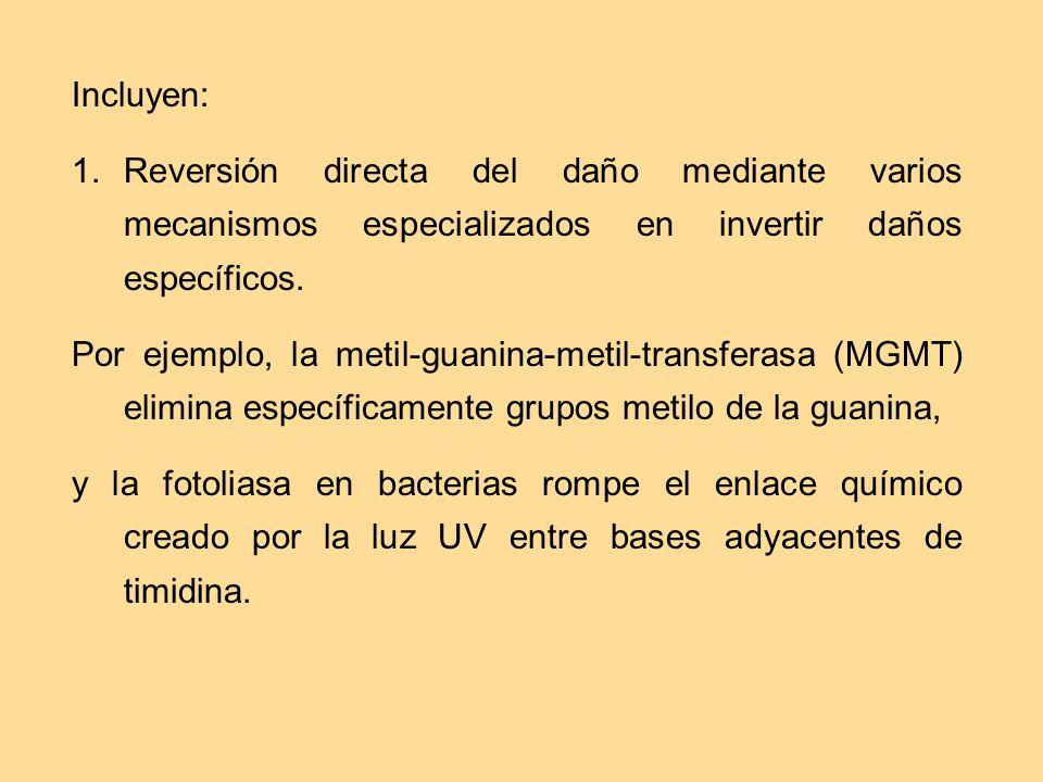 Incluyen: 1. Reversión directa del daño mediante varios mecanismos especializados en invertir daños específicos. Por ejemplo, la metil-guanina-metil-t