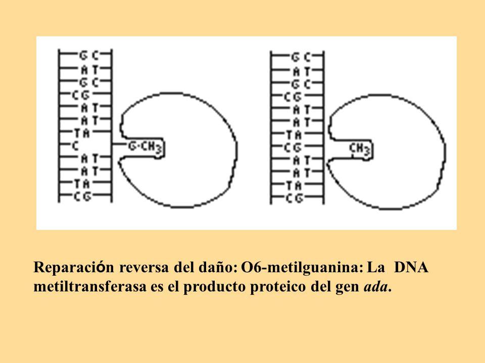 Reparaci ó n reversa del daño: O6-metilguanina: La DNA metiltransferasa es el producto proteico del gen ada.